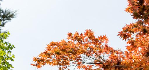 Arbre aux feuilles rouges