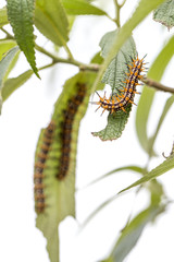 Group of Orange Black and White Hairy Caterpillar on green leave