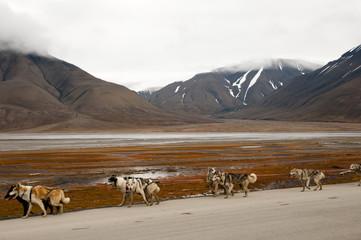 Dog Sledding - Longyearbyen
