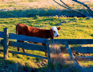 Krowa,