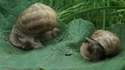 beautiful couple of snail