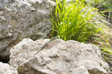 The Balkan green lizard waiting on rock, Lacerta trilineata