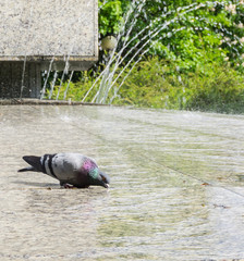 Pigeon drinking water from a fountain