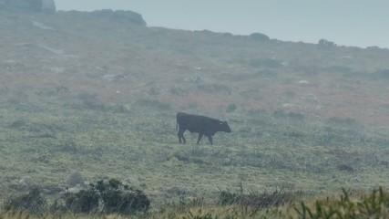 Cow Walks Through Barren Landscape In Storm