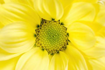 The yellow chrysanthemum flower, closeup, macro