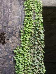 Efeu an Wand