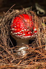 close up of young fly agaric mushroom
