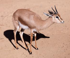 dorcas gazelle  on sand