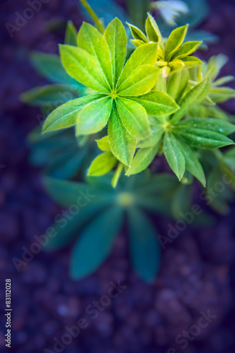 Young lupine plant over garden beet, close up, toned - 83112028