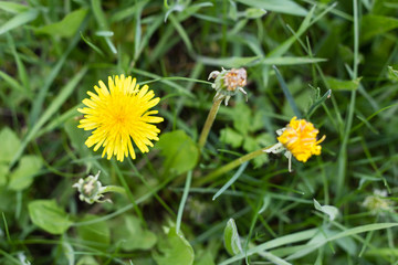 yellow dandelion flowers in green grass in summer garden