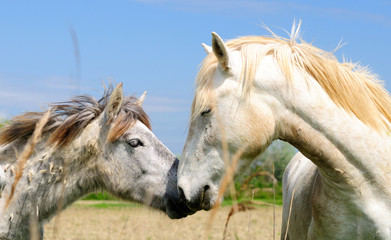 Special horse breed with white mane. Camargue. France.