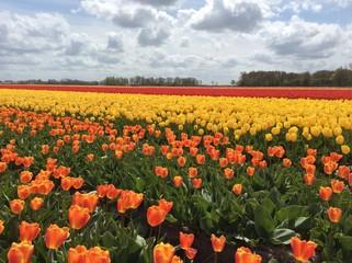 Holland Tulip Colture