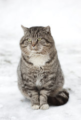 Large Gray Fluffy Cat Sitting in the Snow