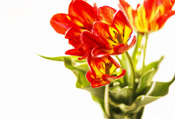 Bouquet of tulips on the white background