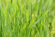 Leaf of grass background