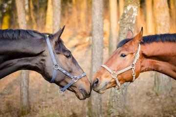 stallion and mare