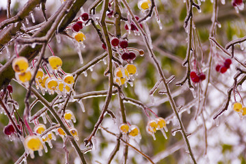 Branch with small apples, ice-covered,icicles.