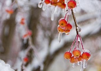 Branch with small apples, ice-covered.