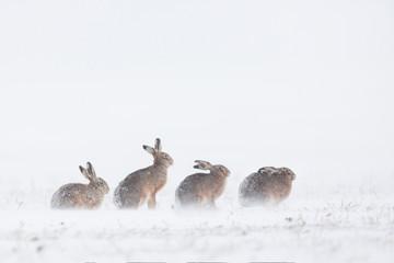 lièvres dans la neige