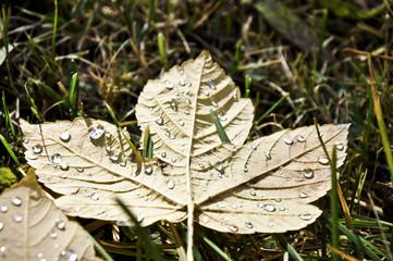 Herbstblatt mit Tautropfen im Gras