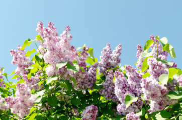 Closeup of blossomed lilac flower bushes against blue sky