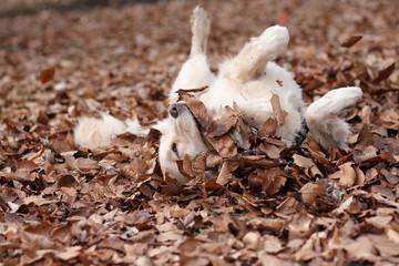 Golden Retriever genießt den Herbst