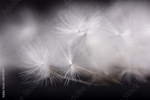 Dandelion seeds. Many dandelion seeds, close- up flower seeds. - 83135842