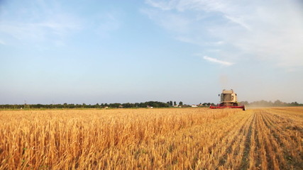 Harvesting wheat in a sunny day