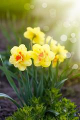 beautiful blooming daffodils outdoors