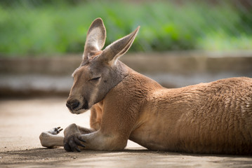 Kangaroo Chilling