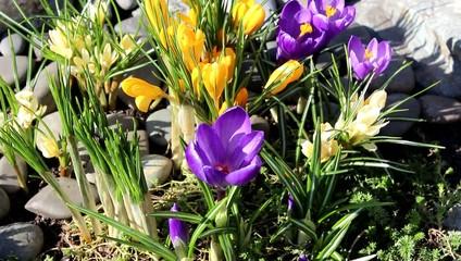 Crocus flower spring bloom in the garden