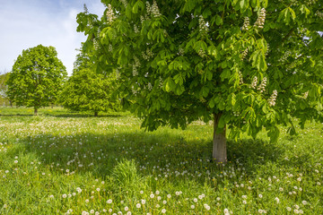 Blossoming chestnut tree in a sunny meadow