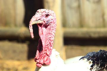 turkey's head