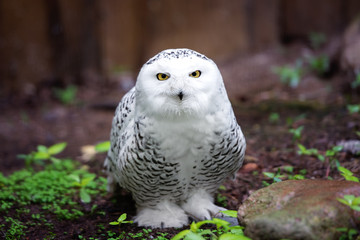 snowy owl on the ground