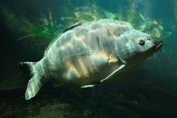 Underwater photo of a big Carp (Cyprinus Carpio).