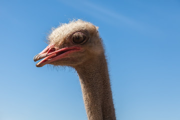 Portrait of an ostrich