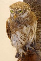 pygmy owl taxidermy