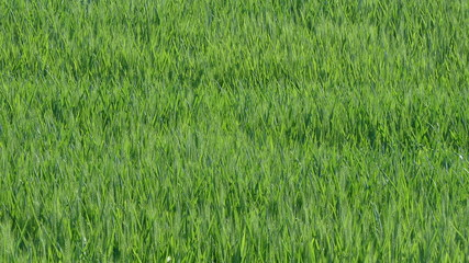 Wheat moving in the breeze, wind, HD video