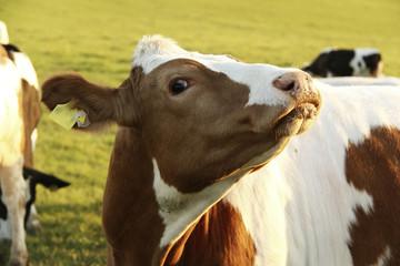 kühe geniessen die abendsonne III