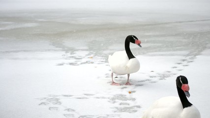 Two black necked swans walk on snow out of frame