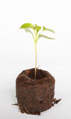 Small green chili plant