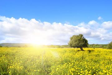 Campo con fiori gialli e con raggi di sole al tramonto