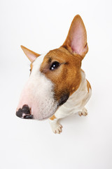 Sitting dog, breed bull terrier on white, funny portrait