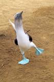 Cheerful mating dance of Blue-footed boobie. Galapagos, Ecuador - Fine Art prints