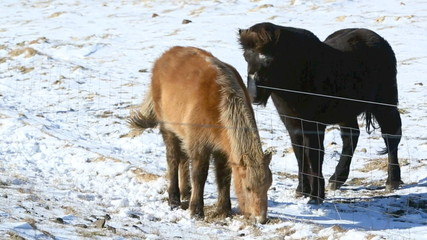Two Icelandic ponies on a snow covered meadow