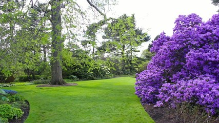 Beautiful lilac rhododendron blossoms in Spring garden