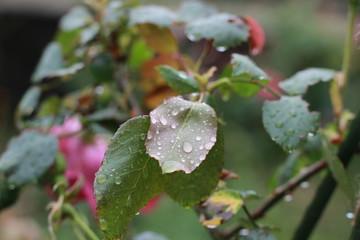 雨と薔薇の葉