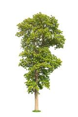 Dipterocarpus tuberculatus Roxb. isolated on white