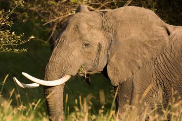 Portrait of an elephant feeding, Tanzania