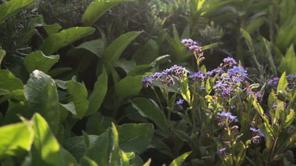 forget-me-not bunch